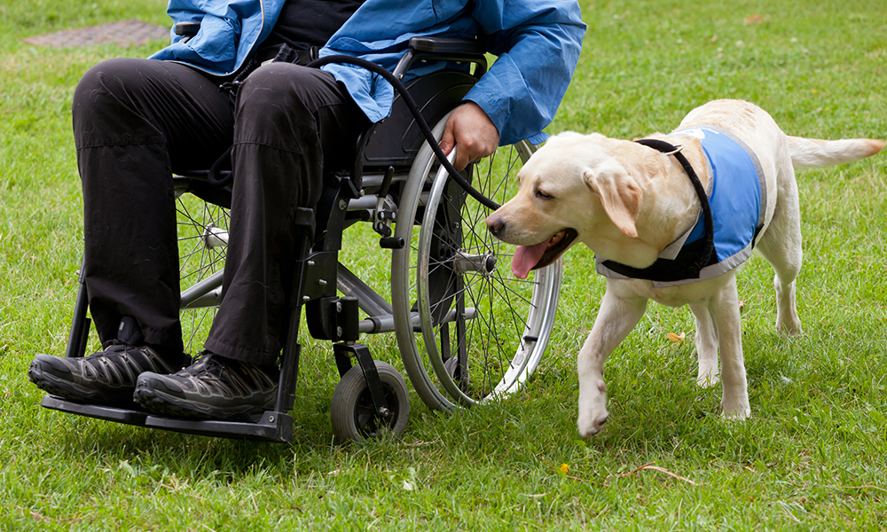 A closeup of the legs of a man in a wheelchair with his guide dog, a yellow lab in a blue vest.
